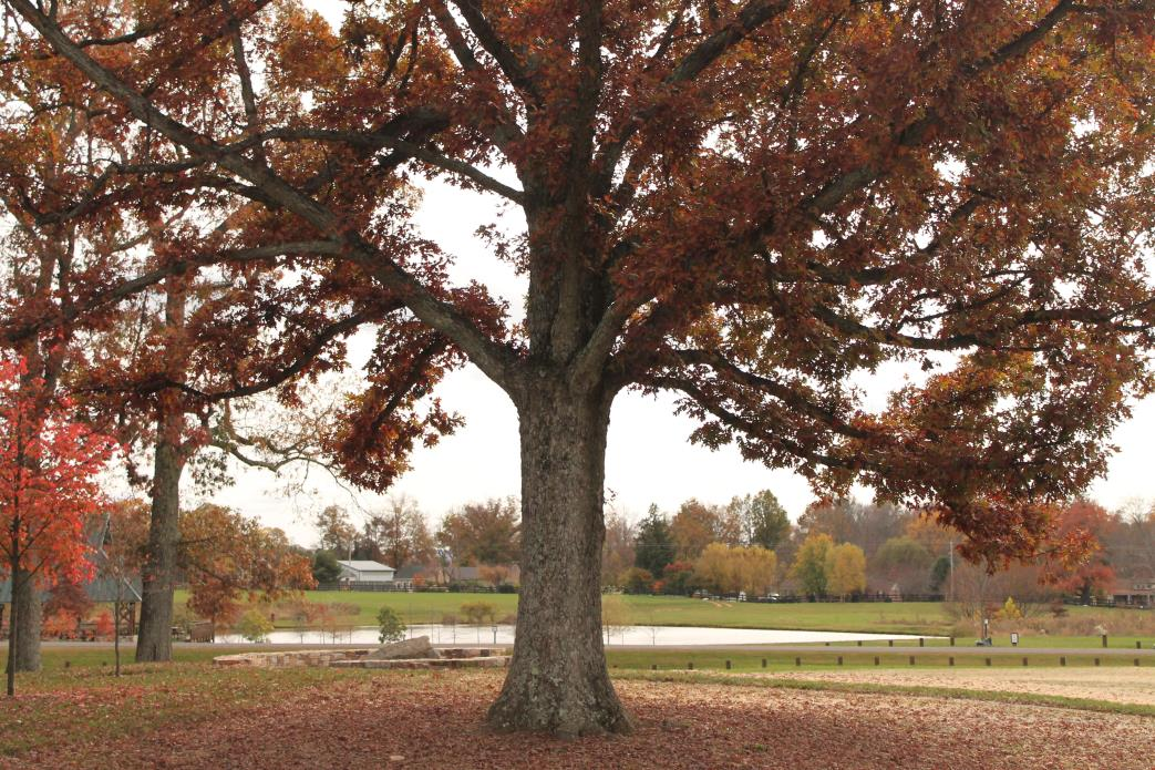Large Oak Tree by the Dell Amphitheater at Northern Fauquier Community Park