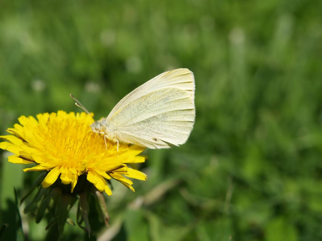 Cabbage White 21